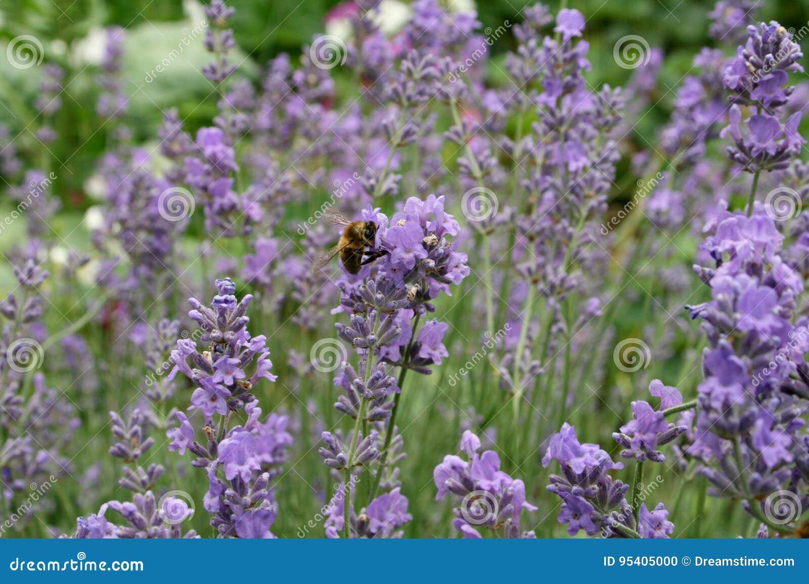 Purpurroter Lavendel, Biene auf einer Blume
