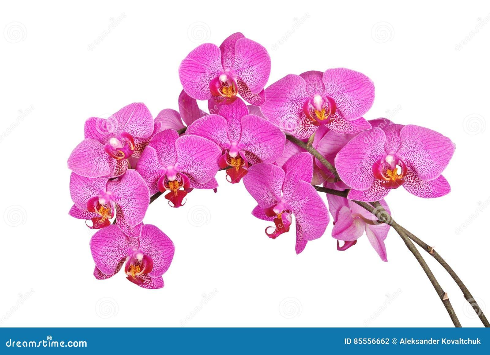 Purpurroter Orchideenblume Beschneidungspfad