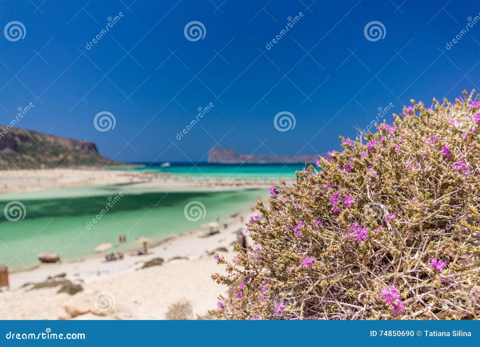Purpurroter Strauch Balos Griechenland