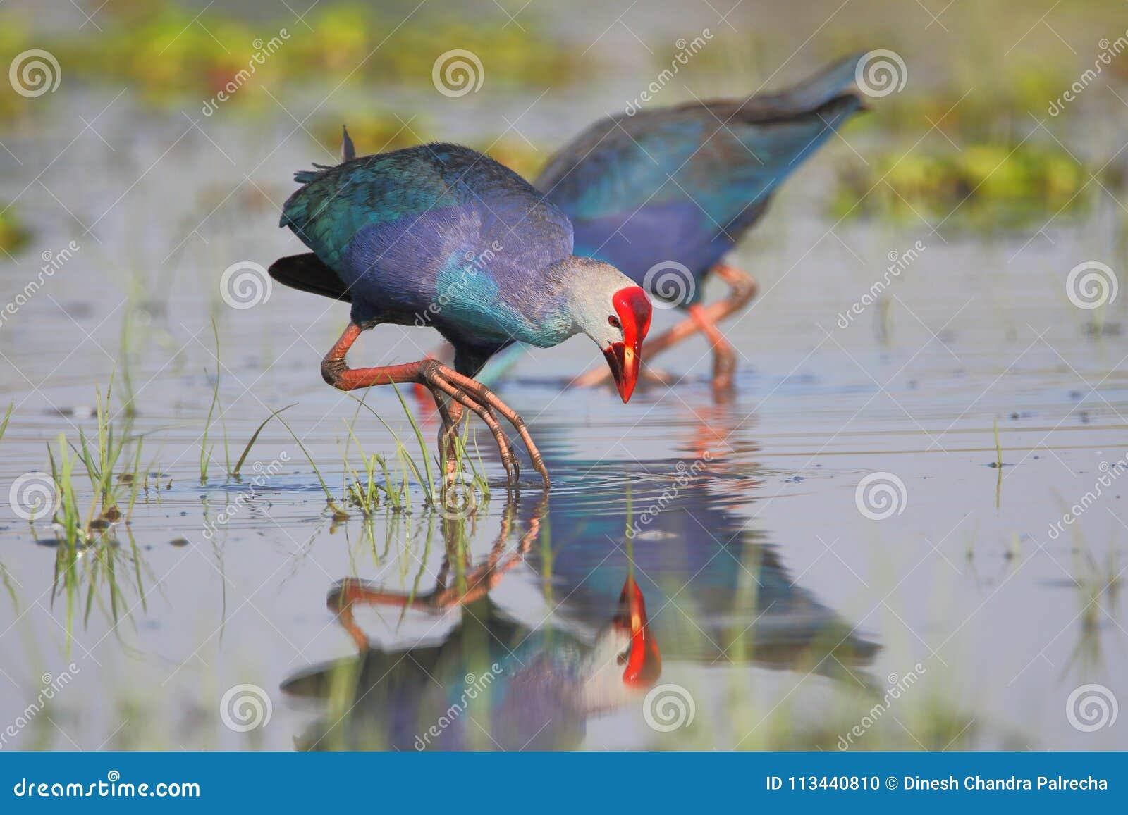 Purpurrotes Swamphen