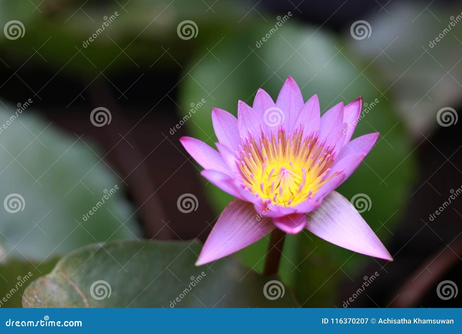 Purpury kwitną lotosowego kwiatu z żółtym pollen i out skupiają się lotosowych liście