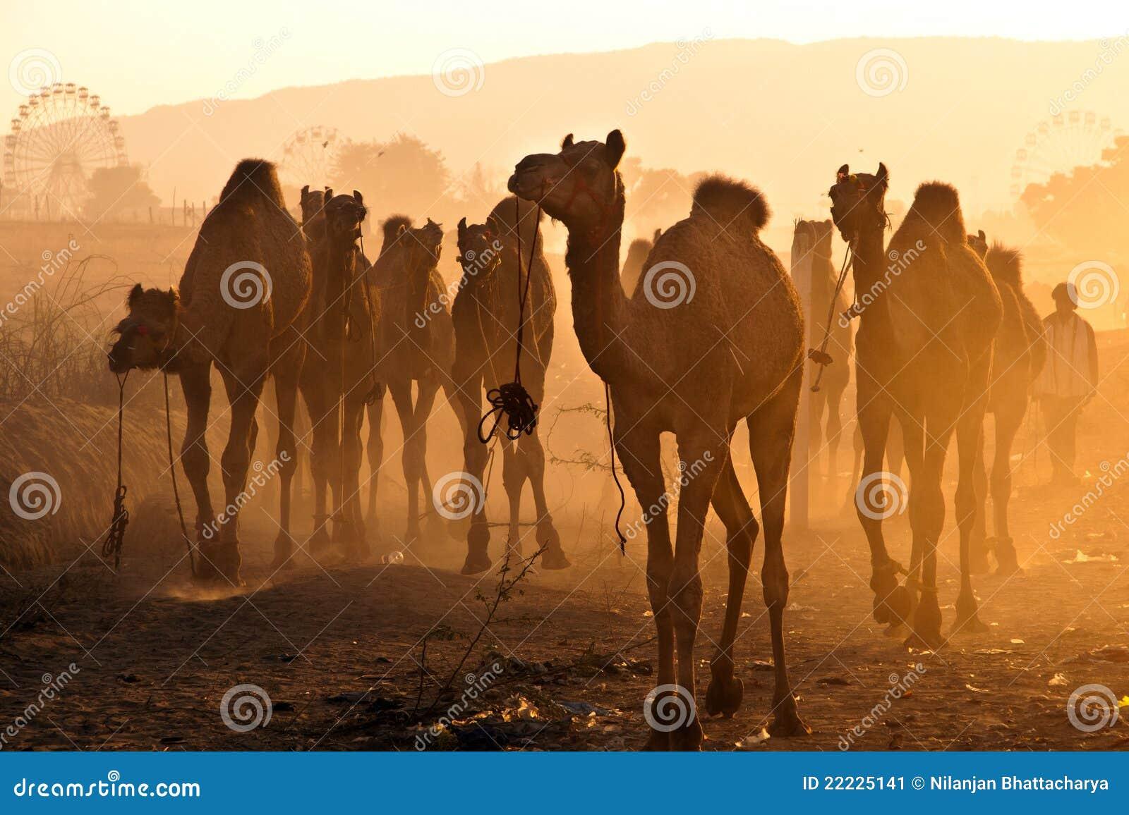 Pushkar kamel fair