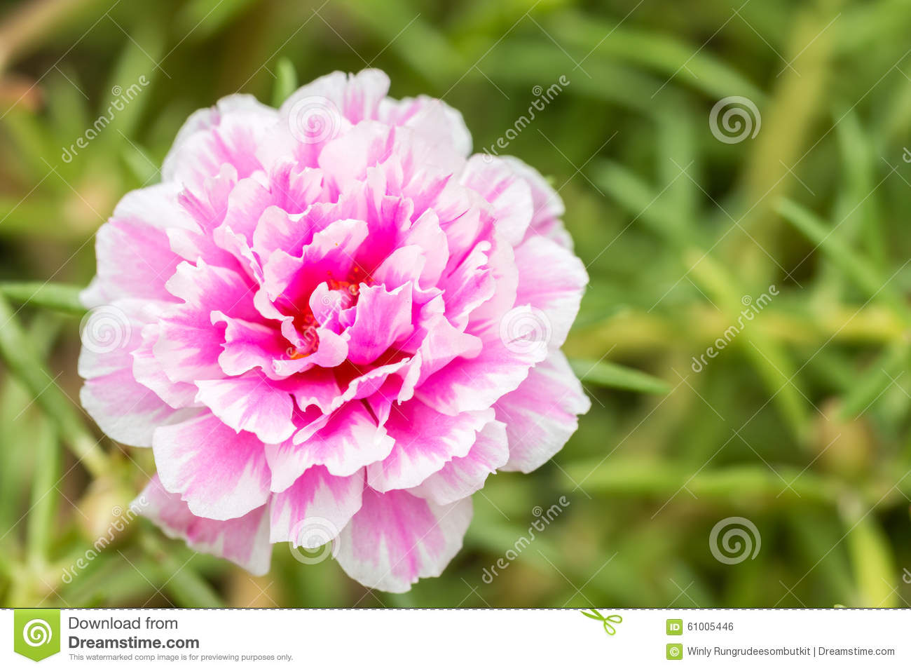 Pusley Flowerportulaca Oleracea Stock Photo Image Of Flower