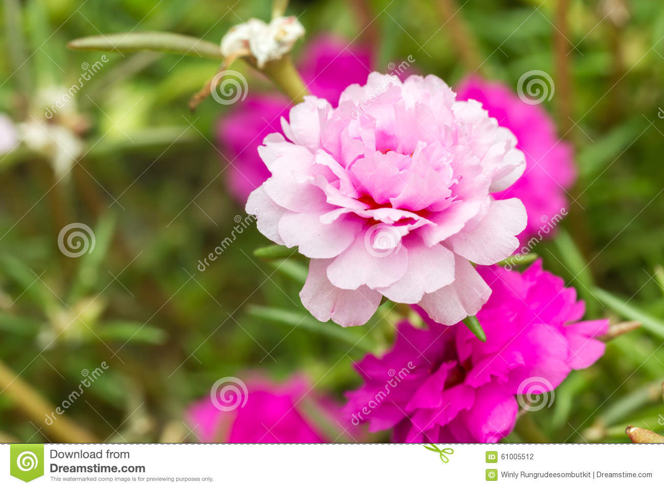 Pusley Flowerportulaca Oleracea Stock Photo Image Of Fresh