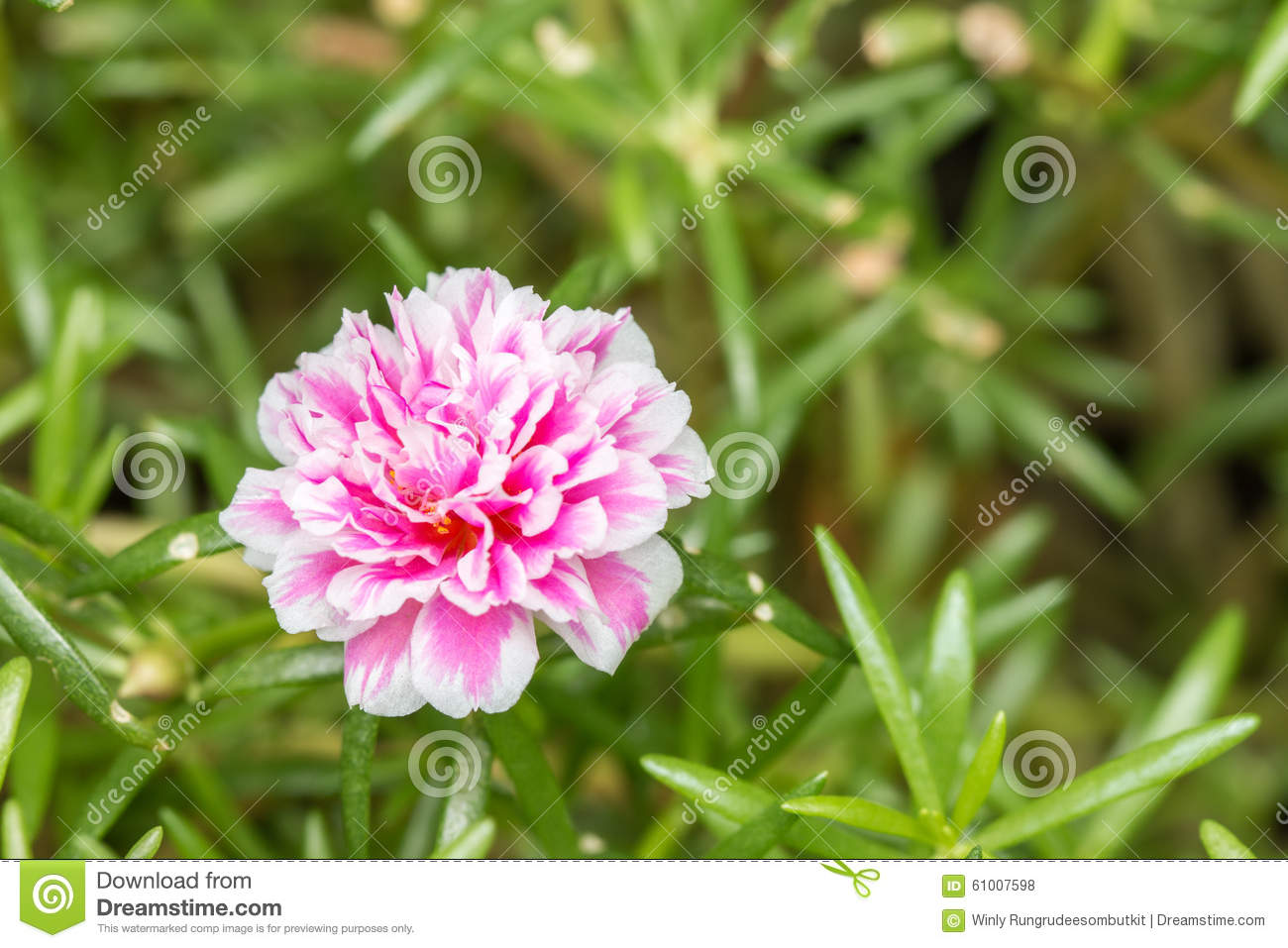 Pusley Flowerportulaca Oleracea Stock Photo Image Of Decorative
