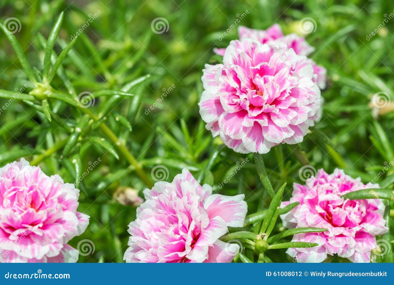 Pusley Flower Portulaca Oleracea Stock Image
