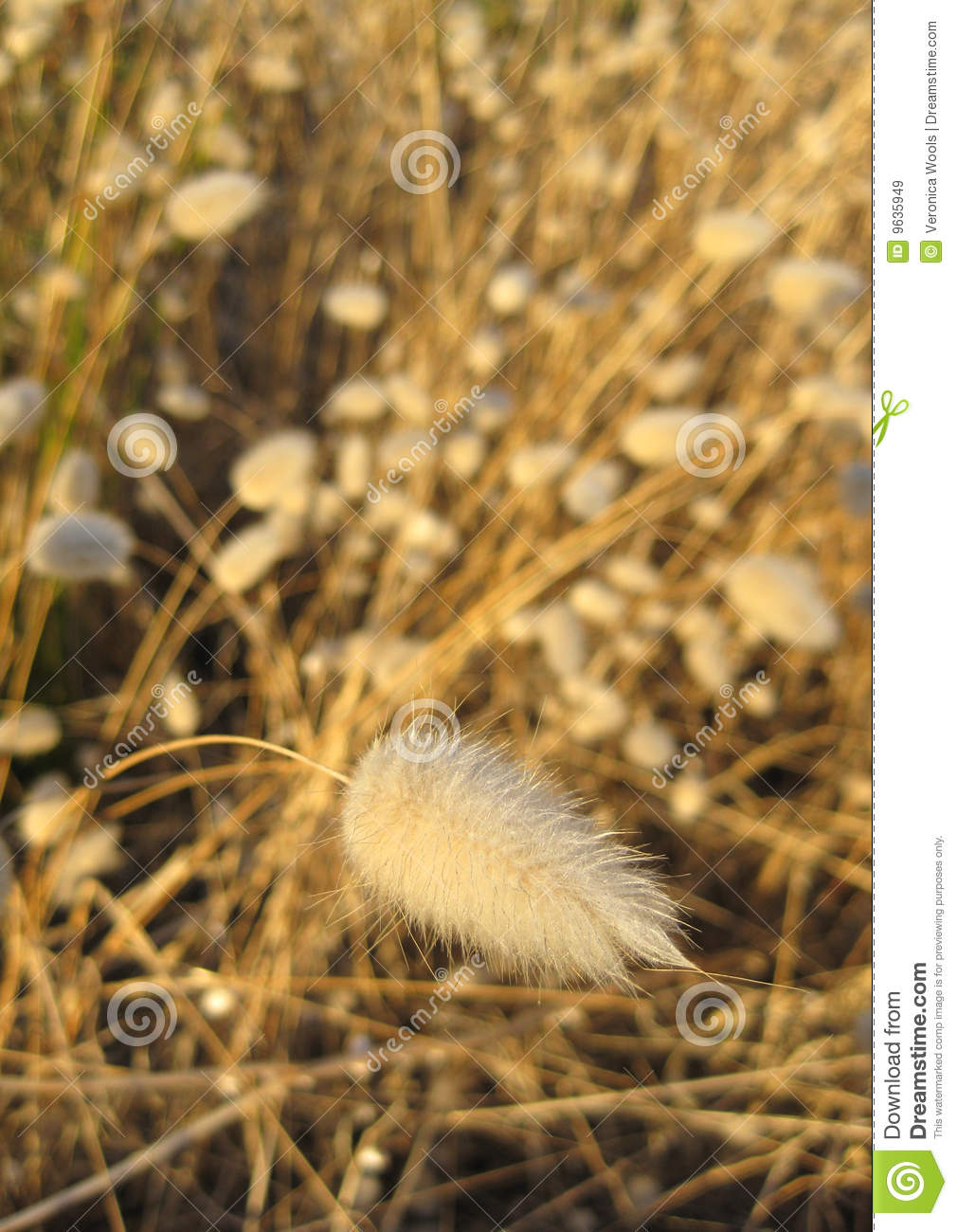 pussy tail grass plants royalty free stock images image clipart cats for free clipart cats and valentines