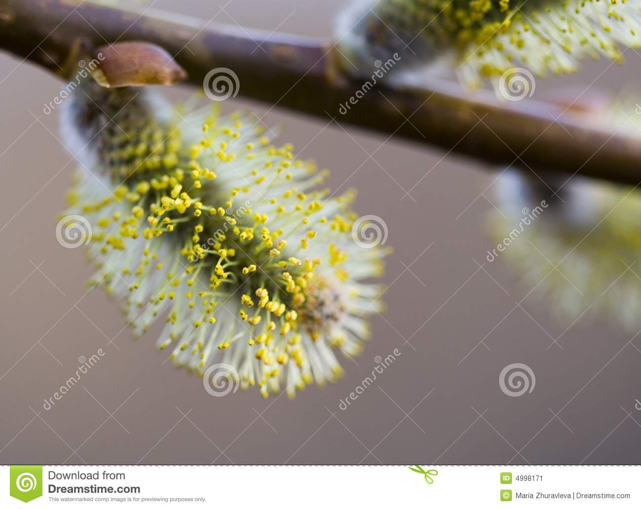 Blossom image pussy willow