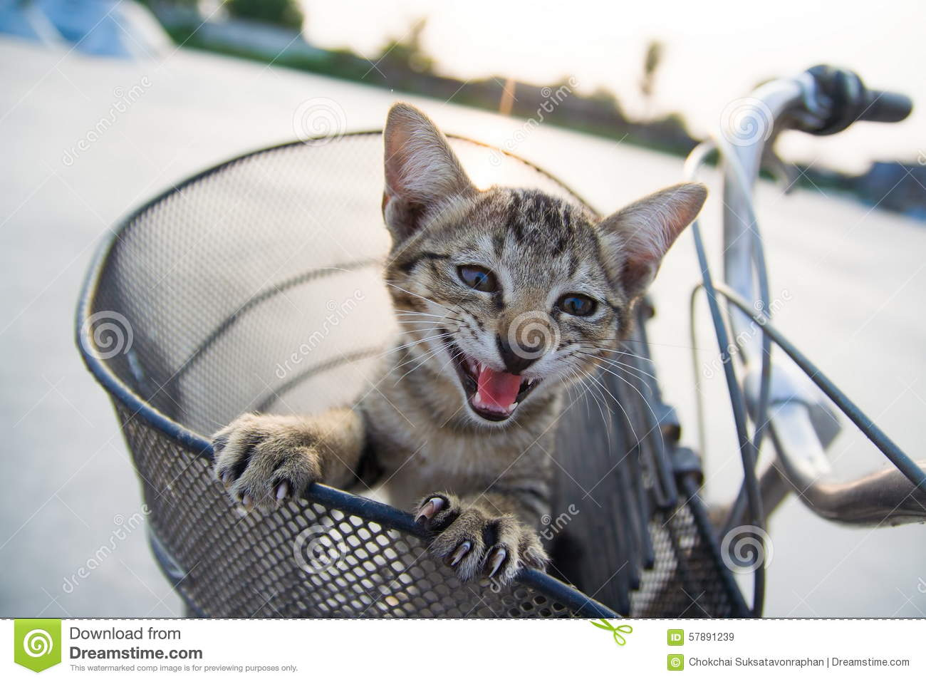 The pussycat in the basket of bicycle.