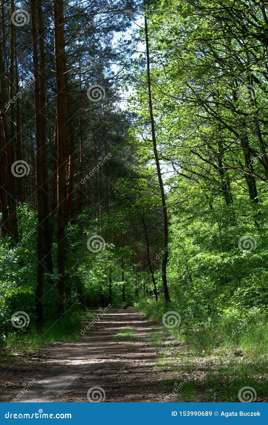 Pusta brud ścieżka w sosnowym lesie