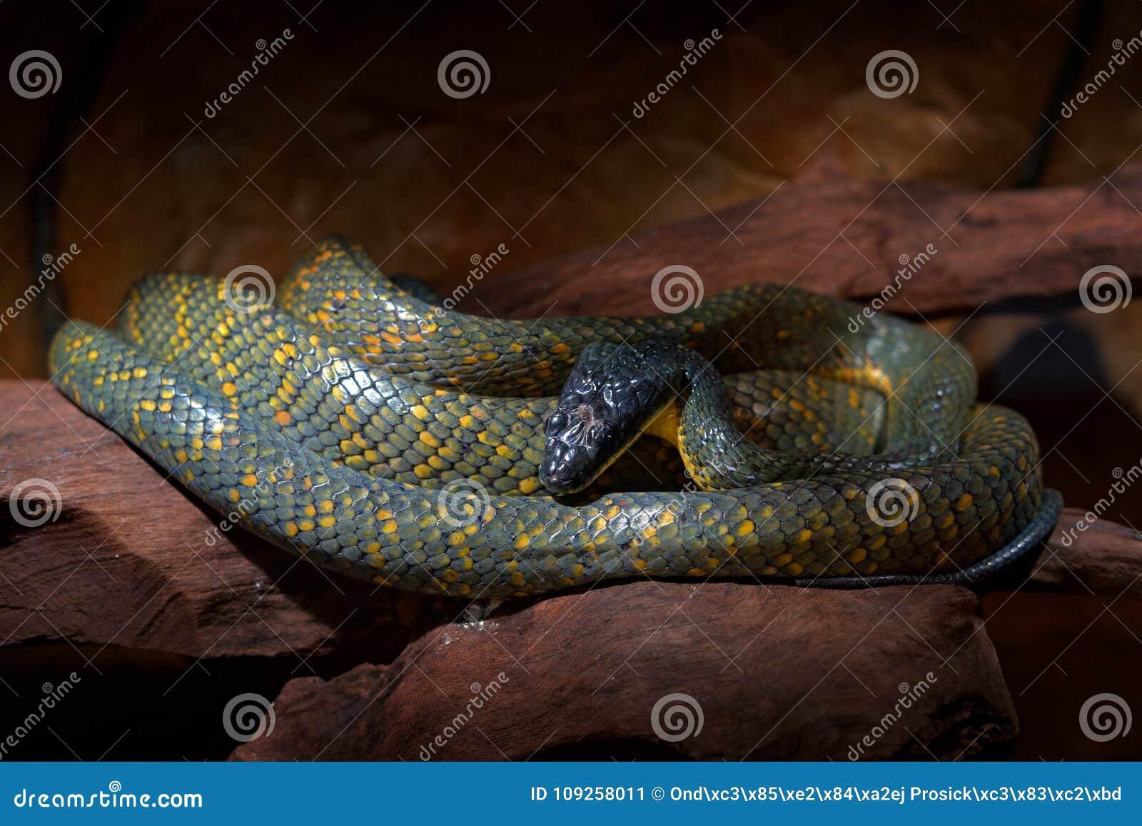 Pustande orm, Pseustes poecilonotus, i mörk livsmiljö Non giftorm i naturlivsmiljön Giftigt djur från södra Ameri