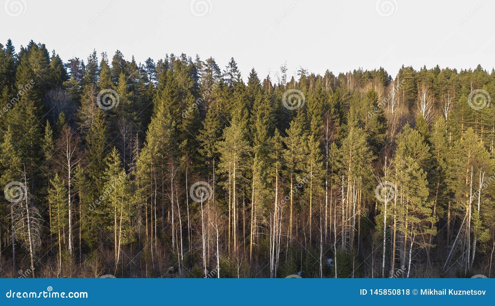 Pustkowi lasowi drzewa w pogodnym wiosna dniu kształtują teren widok