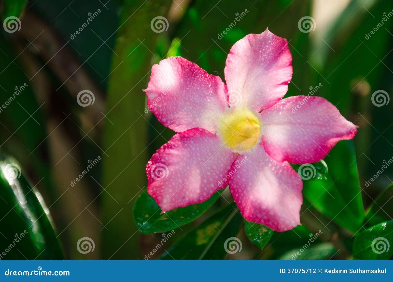 Download Pustynia Wzrastał Na Zielonym Liścia Tle Zdjęcie Stock - Obraz złożonej z azalie, okwitnięcie: 37075712