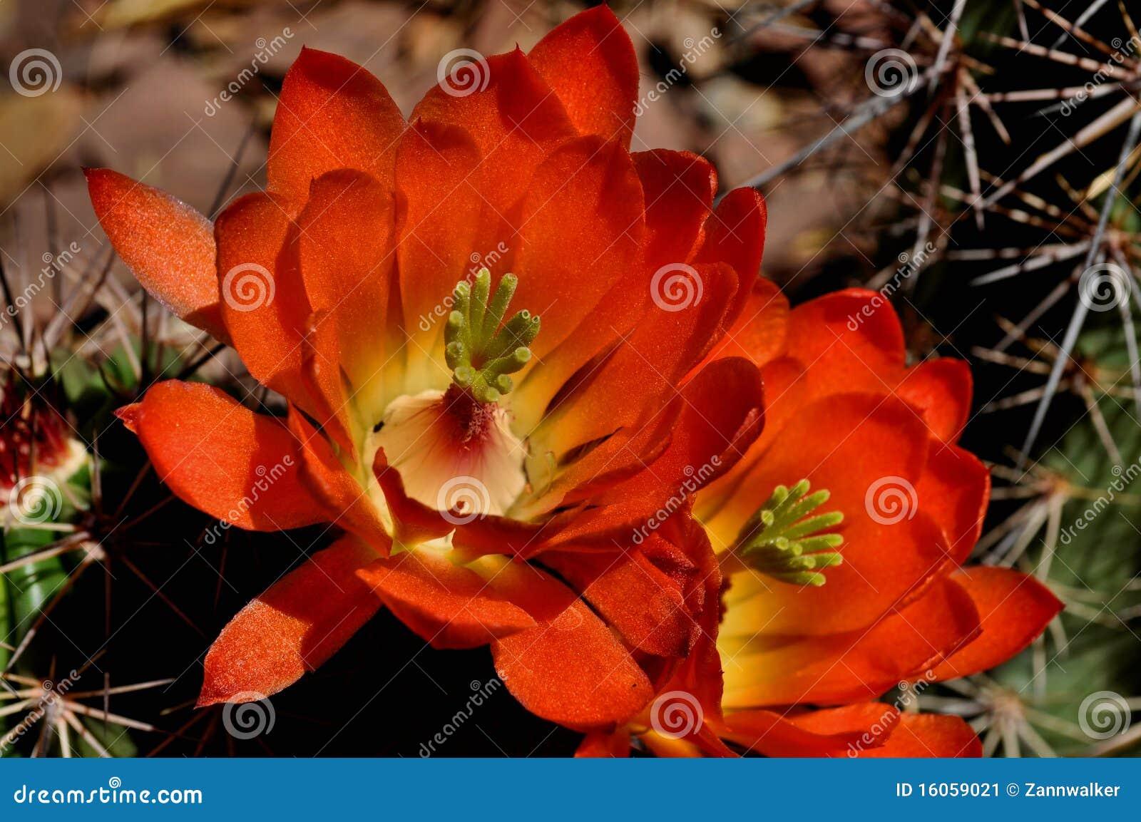 Pustynna kwiat czerwień