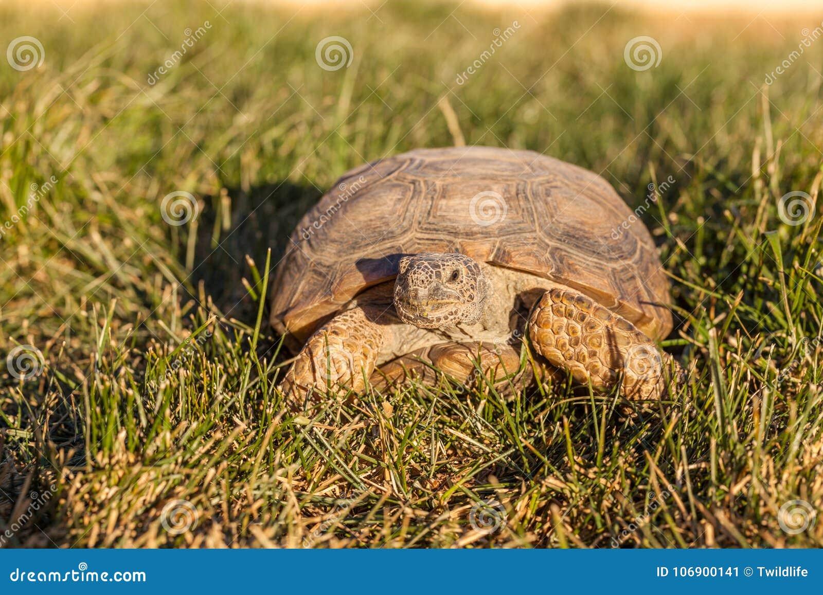 Pustynnego Tortoise głowa Dalej