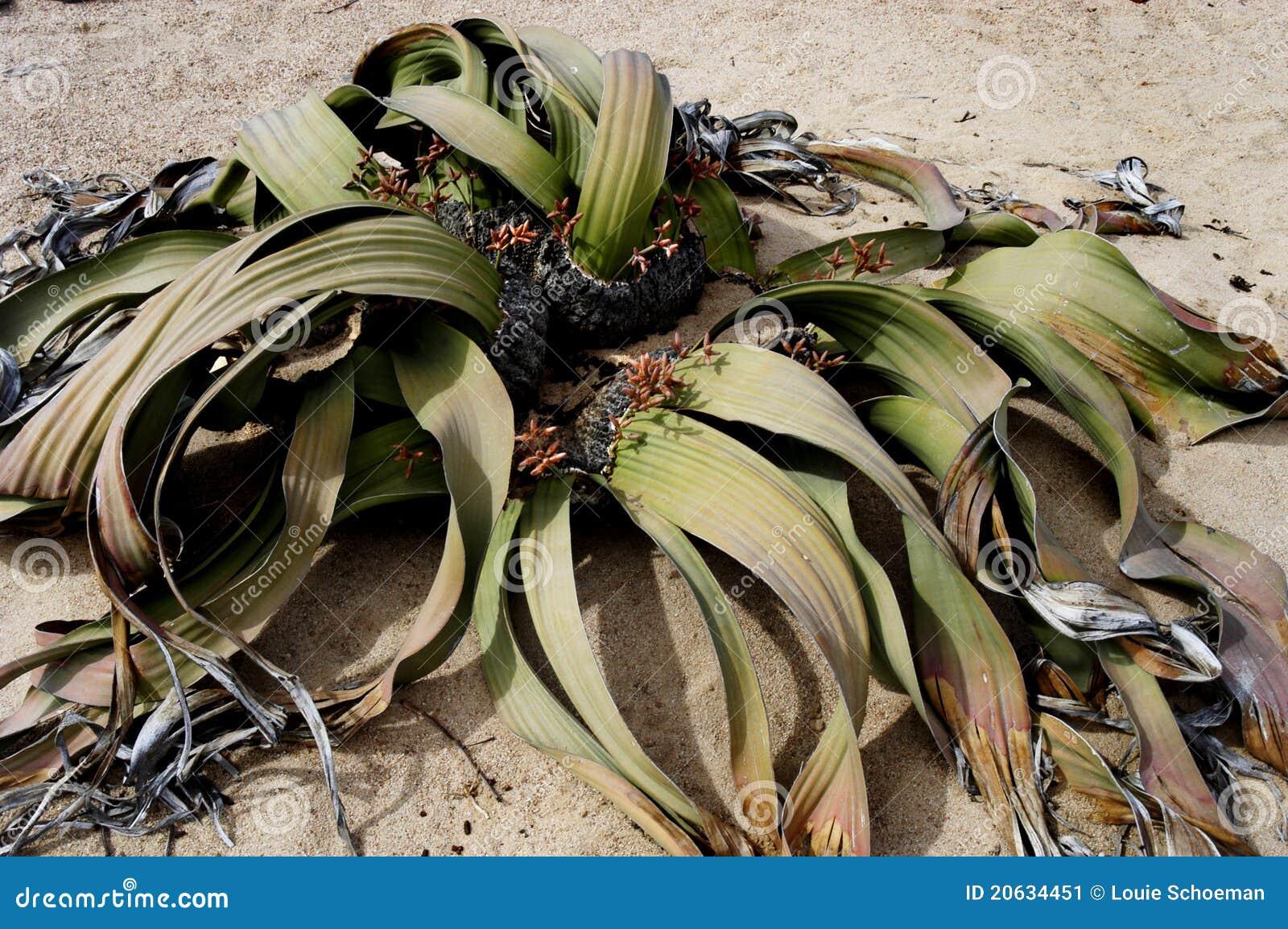 Pustynnej rośliny piasek
