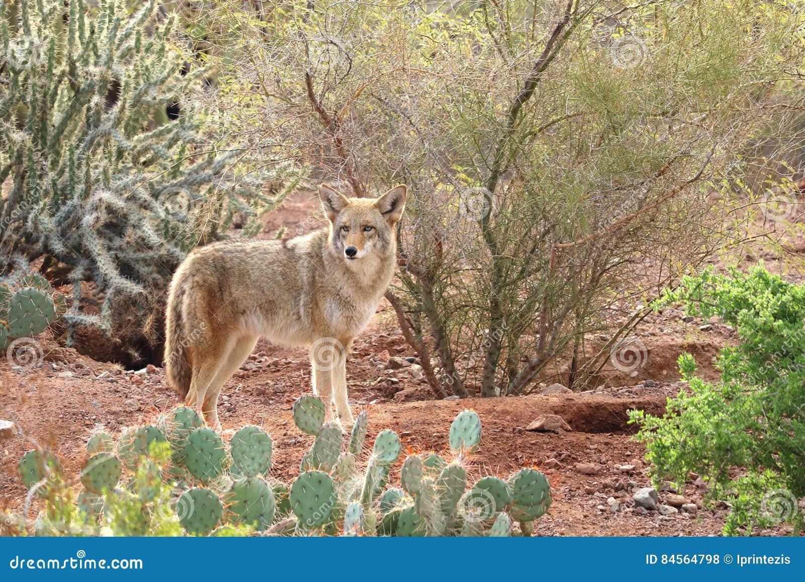 Pustynny kojot