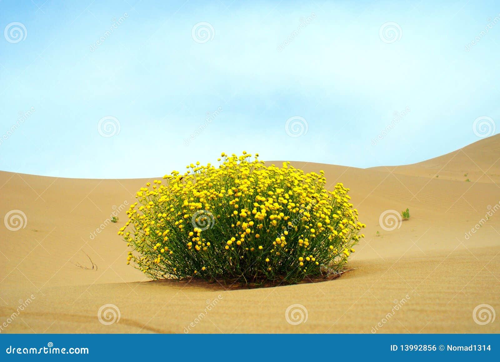 Pustynny kwiat