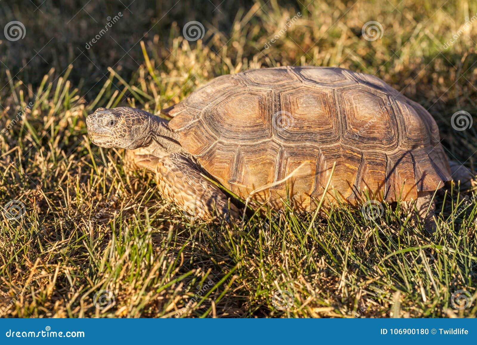 Pustynny Tortoise w trawie