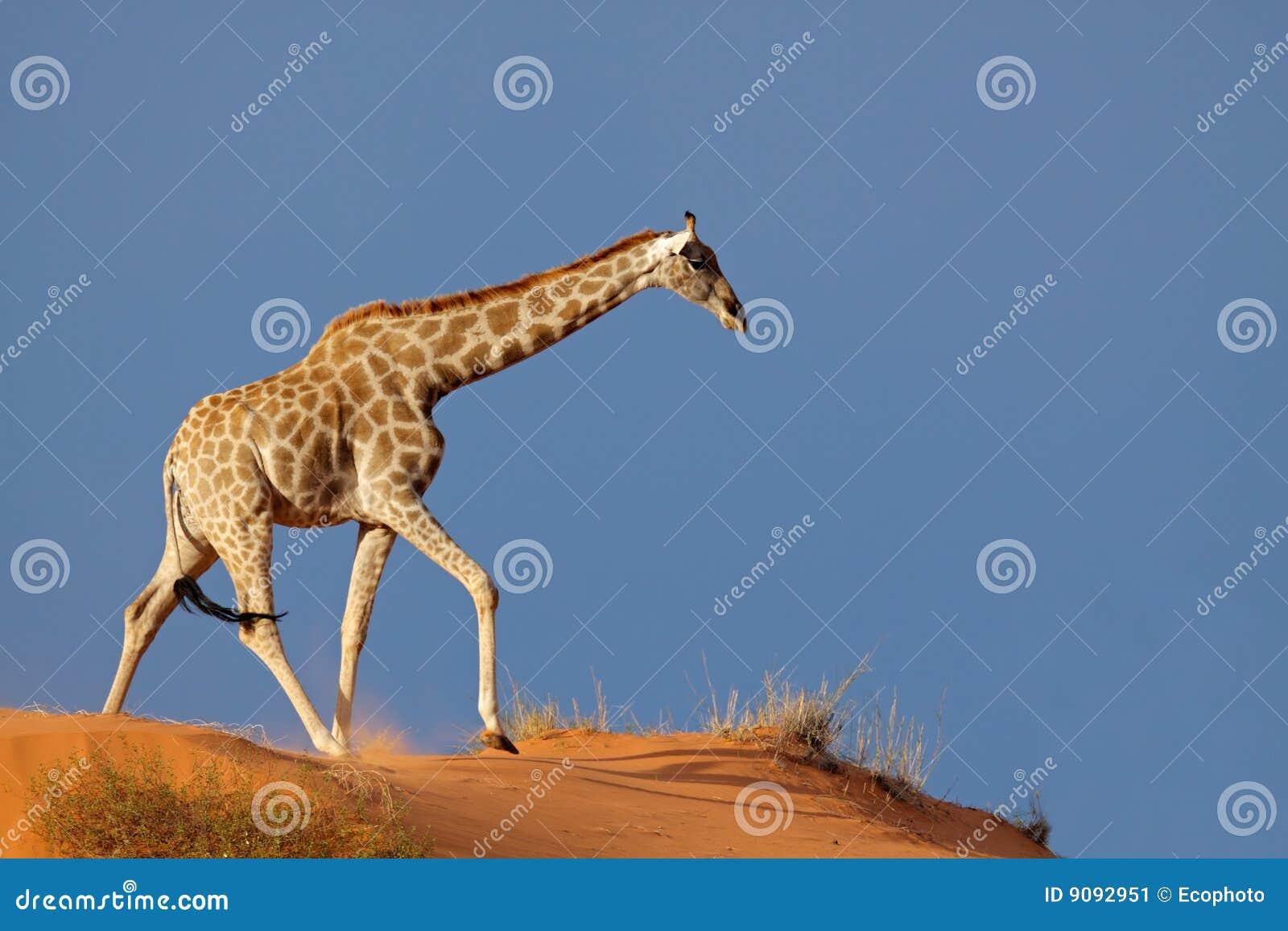 Pustynny wydmowy żyrafy Kalahari piasek