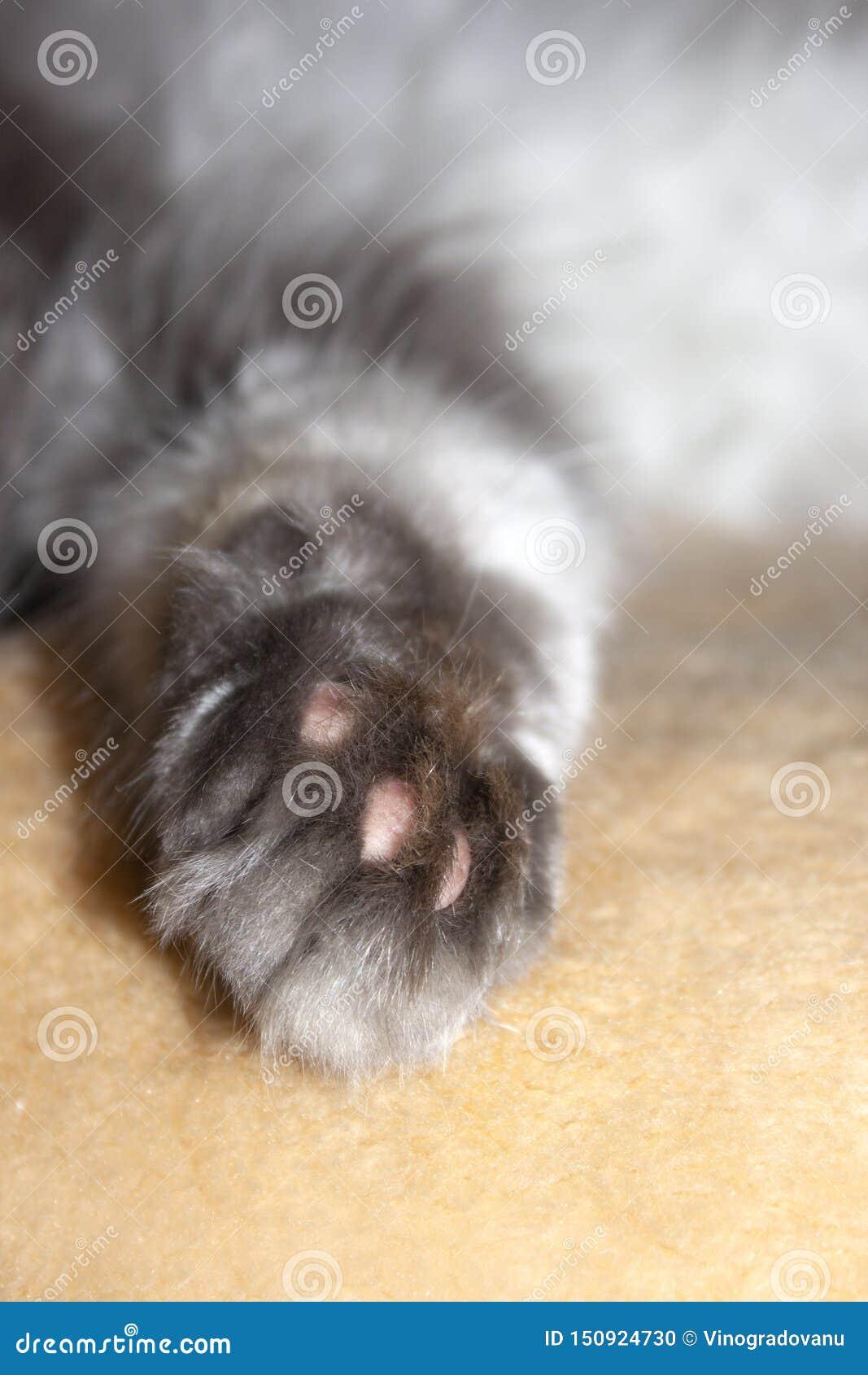 Puszysta kot łapa Zwierze domowy