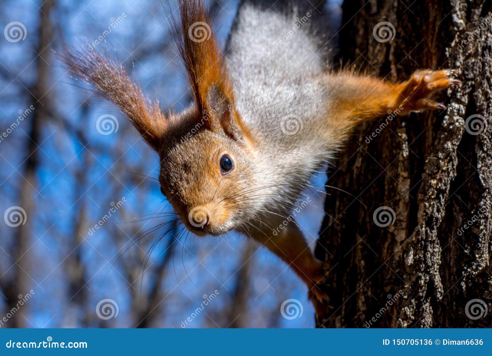 Puszysta wiewiórka trzymająca pazurami na drzewie w kurortu parku, patrzeć naprzód i, słoneczny dzień miasto Yessentuki, w górę,