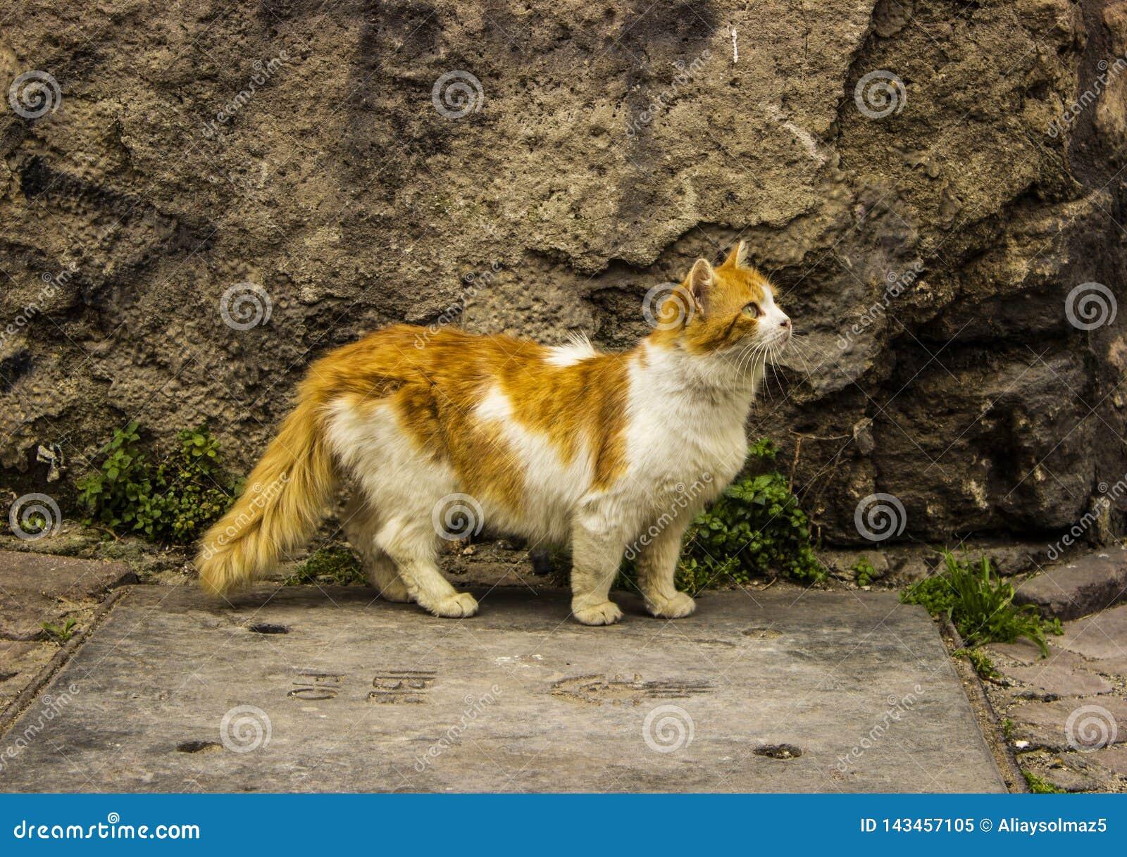 Puszysty Żółty Młody kota odprowadzenie Blisko Starej ściany