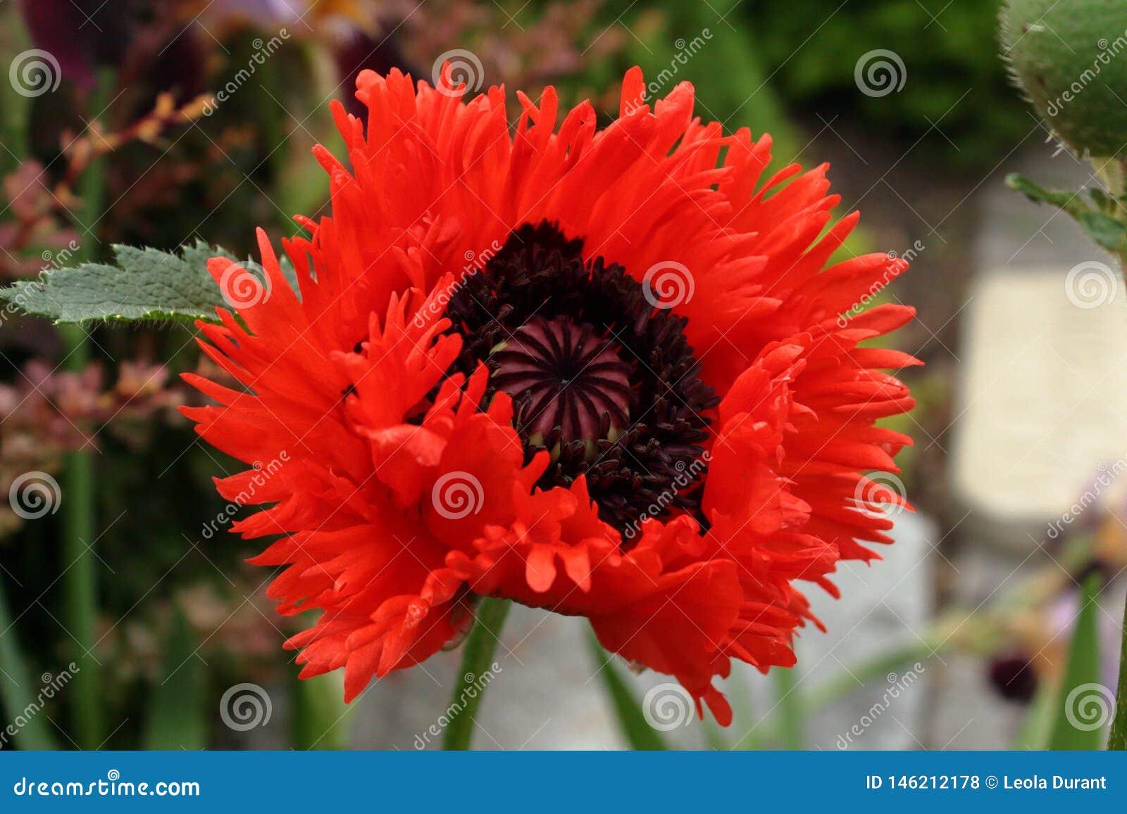 Puszysty Czerwony Makowy kwiat