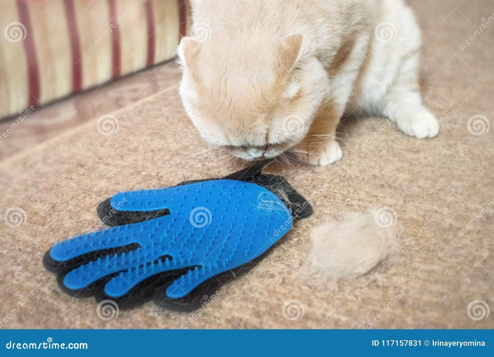 Puszysty Szkocki fałdu kota kremowy pobliski przygotowywać gumowa błękitna rękawiczka c