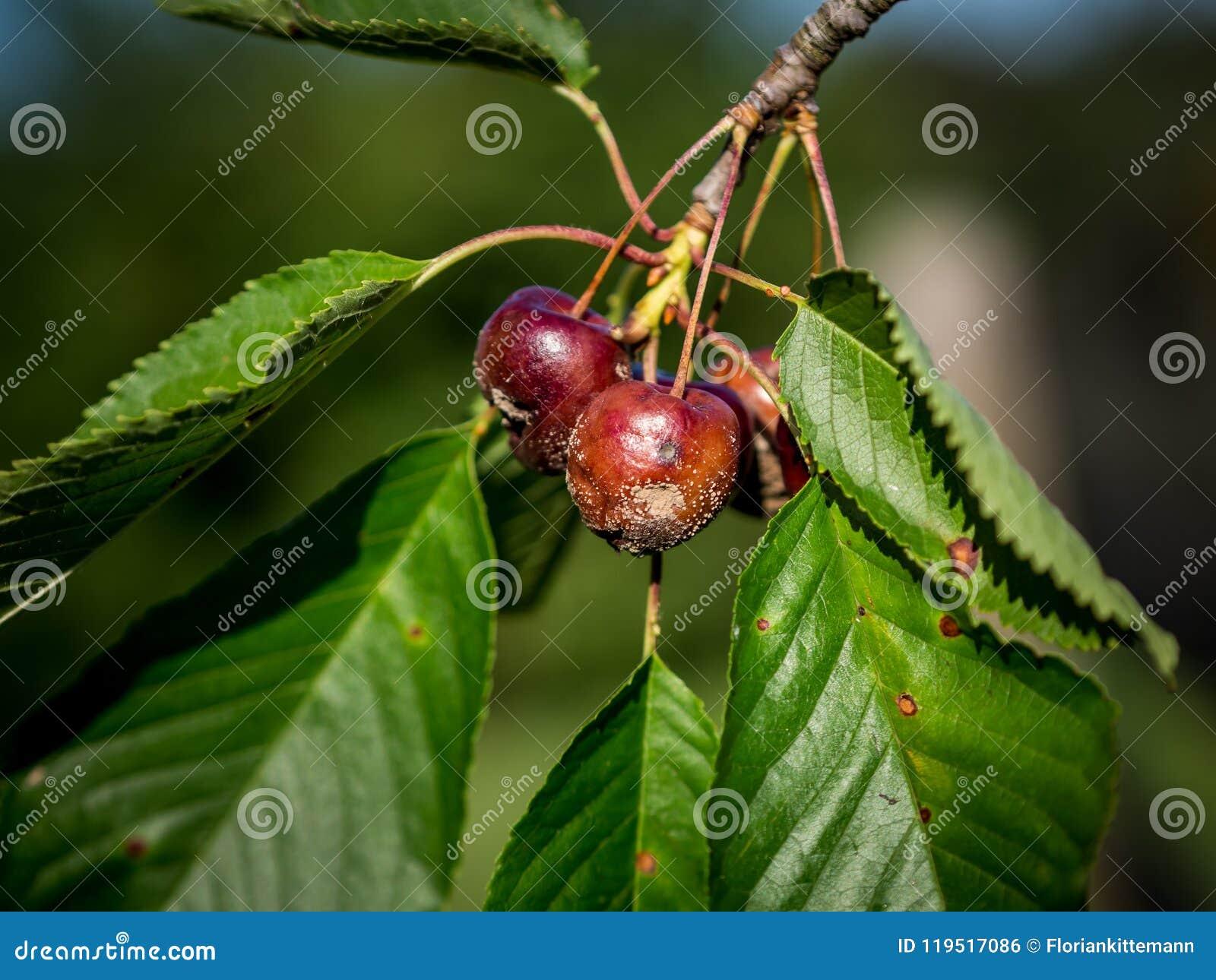 monilia del cerezo