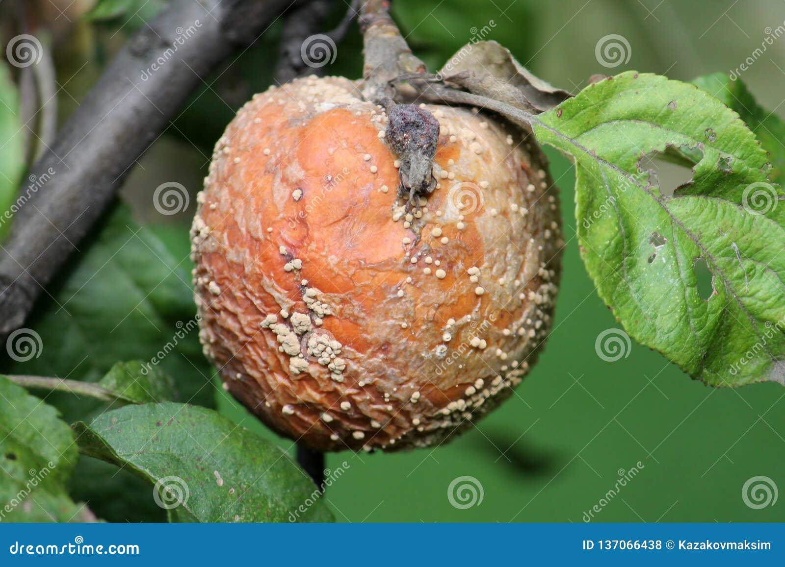 Putrefazione della frutta di Brown della mela causata dal fungo di Monilia