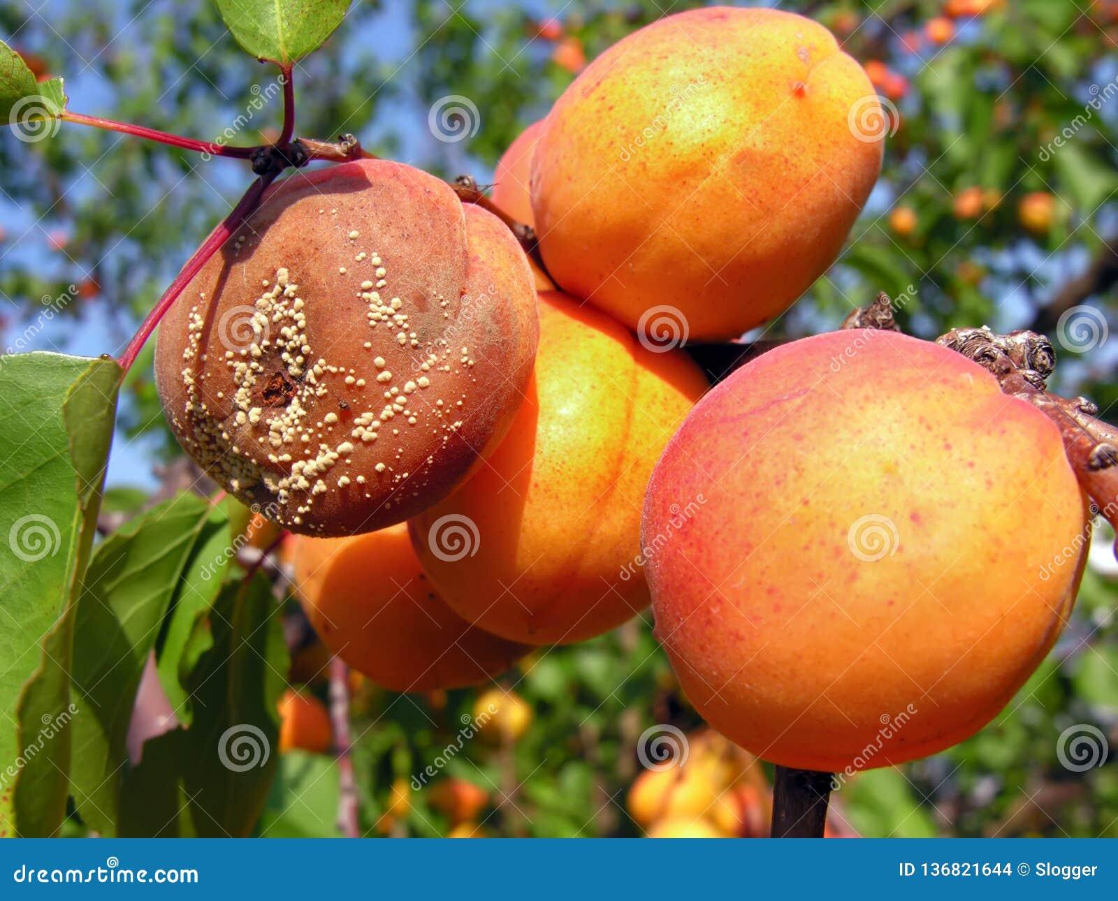 Putrefazione della frutta sulle albicocche mature