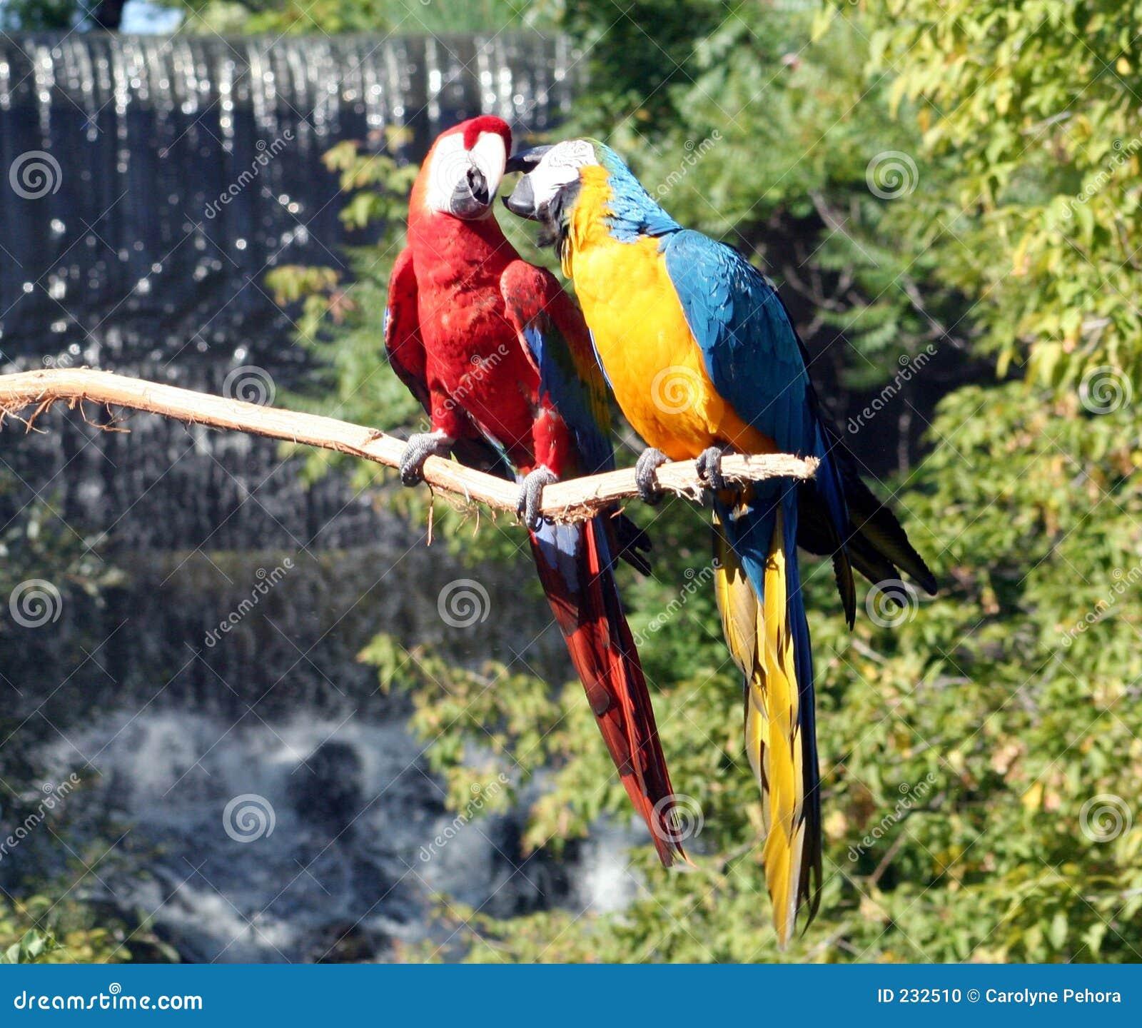 Putsa för macaws