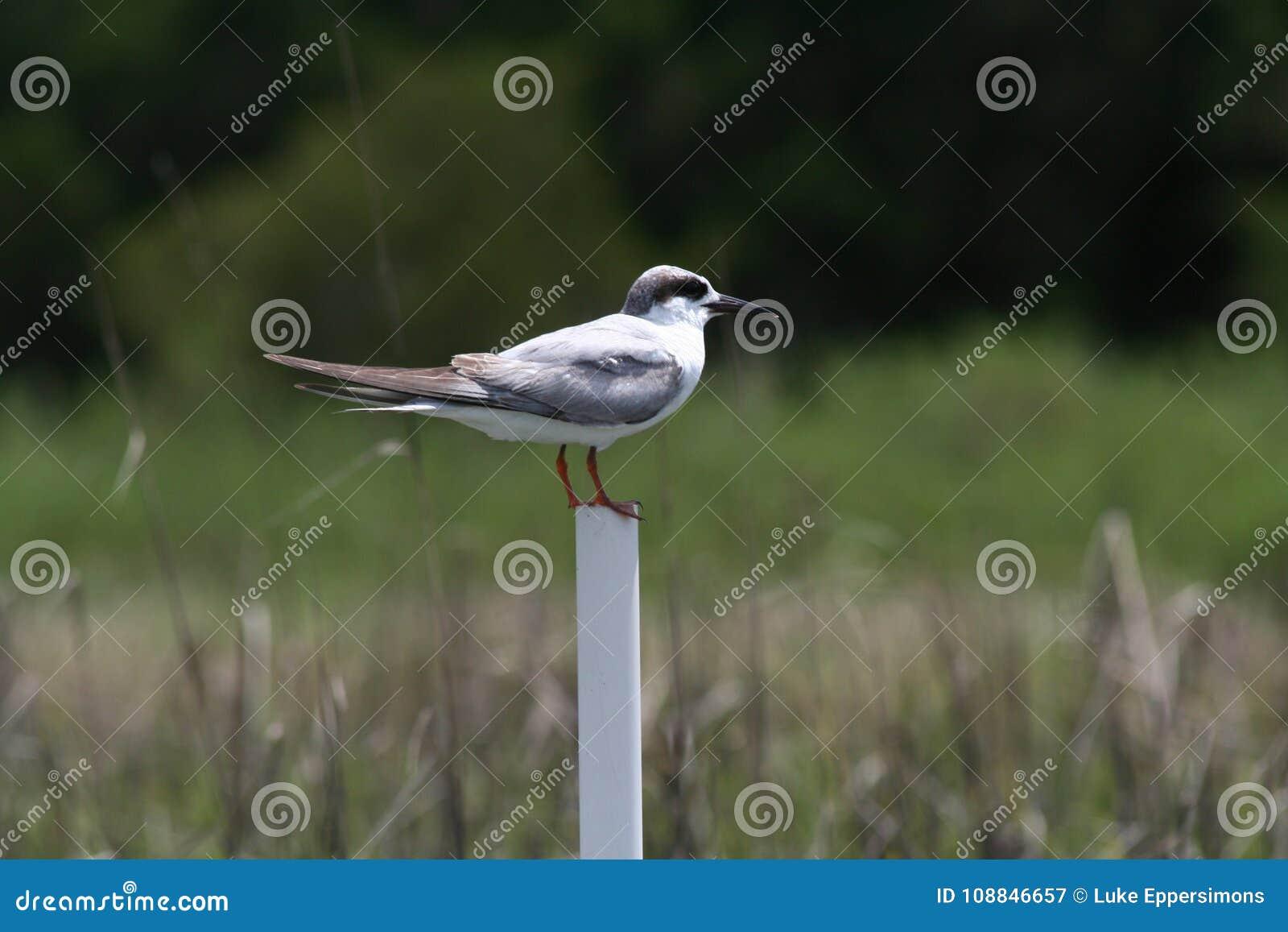 Μεγάλο μαύρο πουλί σωλήνες