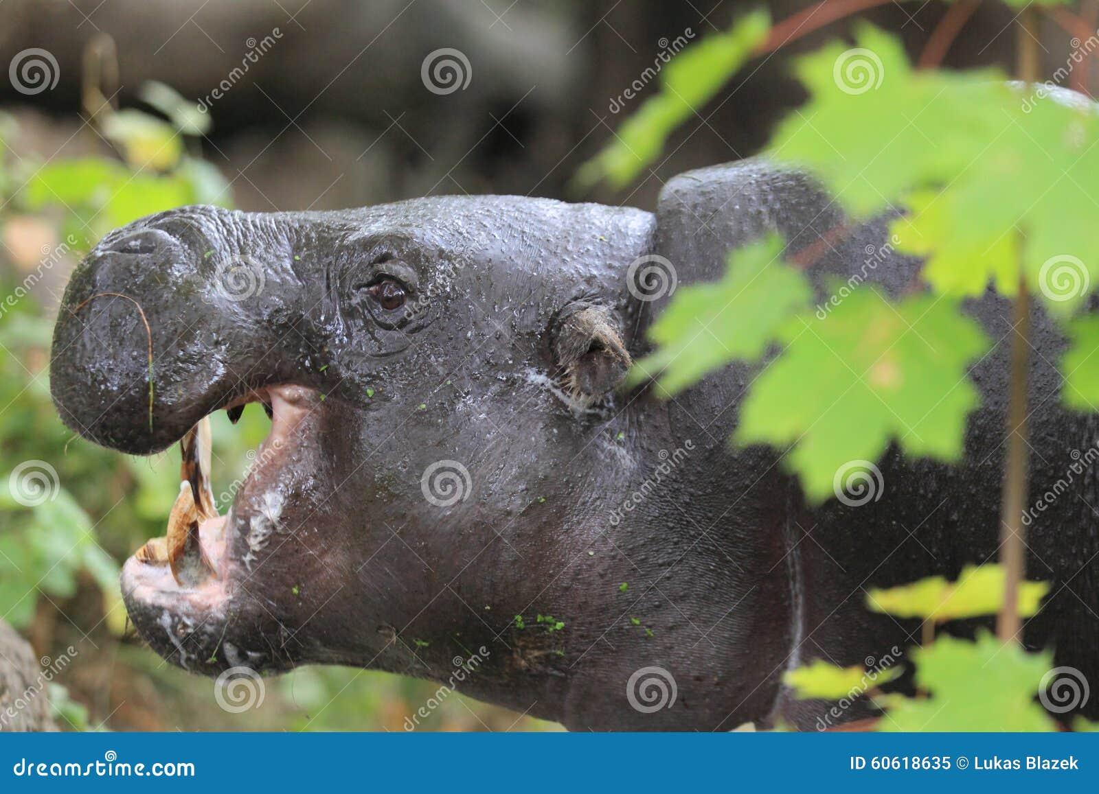 Pygméflodhäst