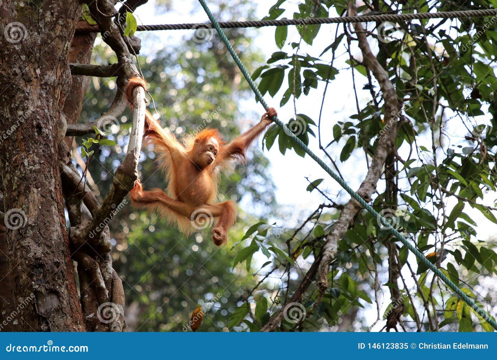 Pygmaeus van Borneo-orang-oetan-Utan Pongo - Semenggoh Borneo Maleisi? Azi?