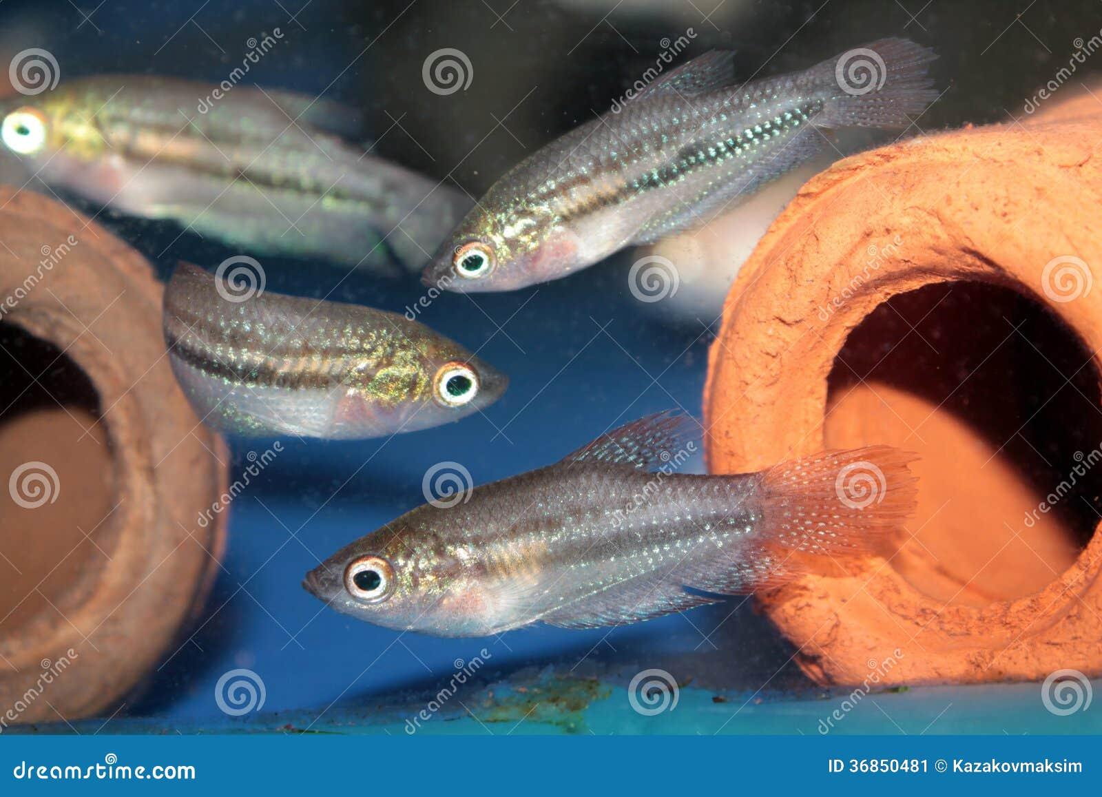 Pygmy Gourami (Trichopsis Pumilus) Aquarium Fish Stock Image - Image ...