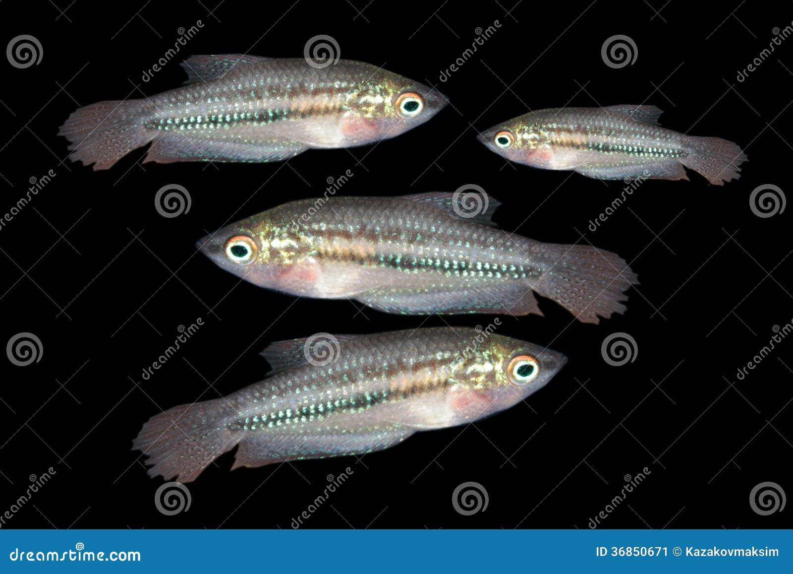 Pygmy gourami (Trichopsis pumilus) freshwater aquarium fish.