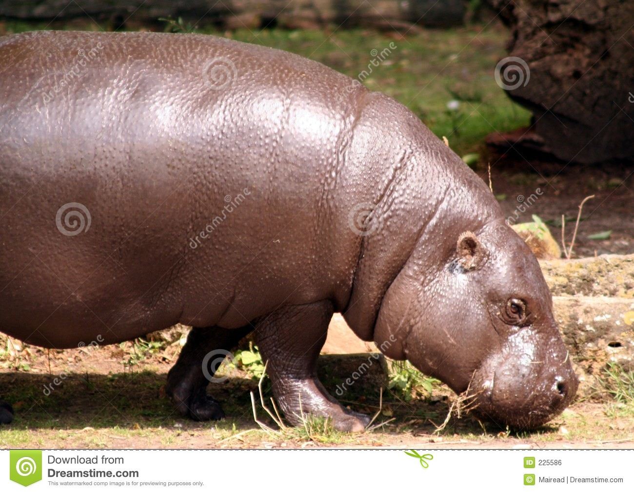 Download Pygmy Hippo stock photo. Image of hippo, baby, small, endangered - 225586