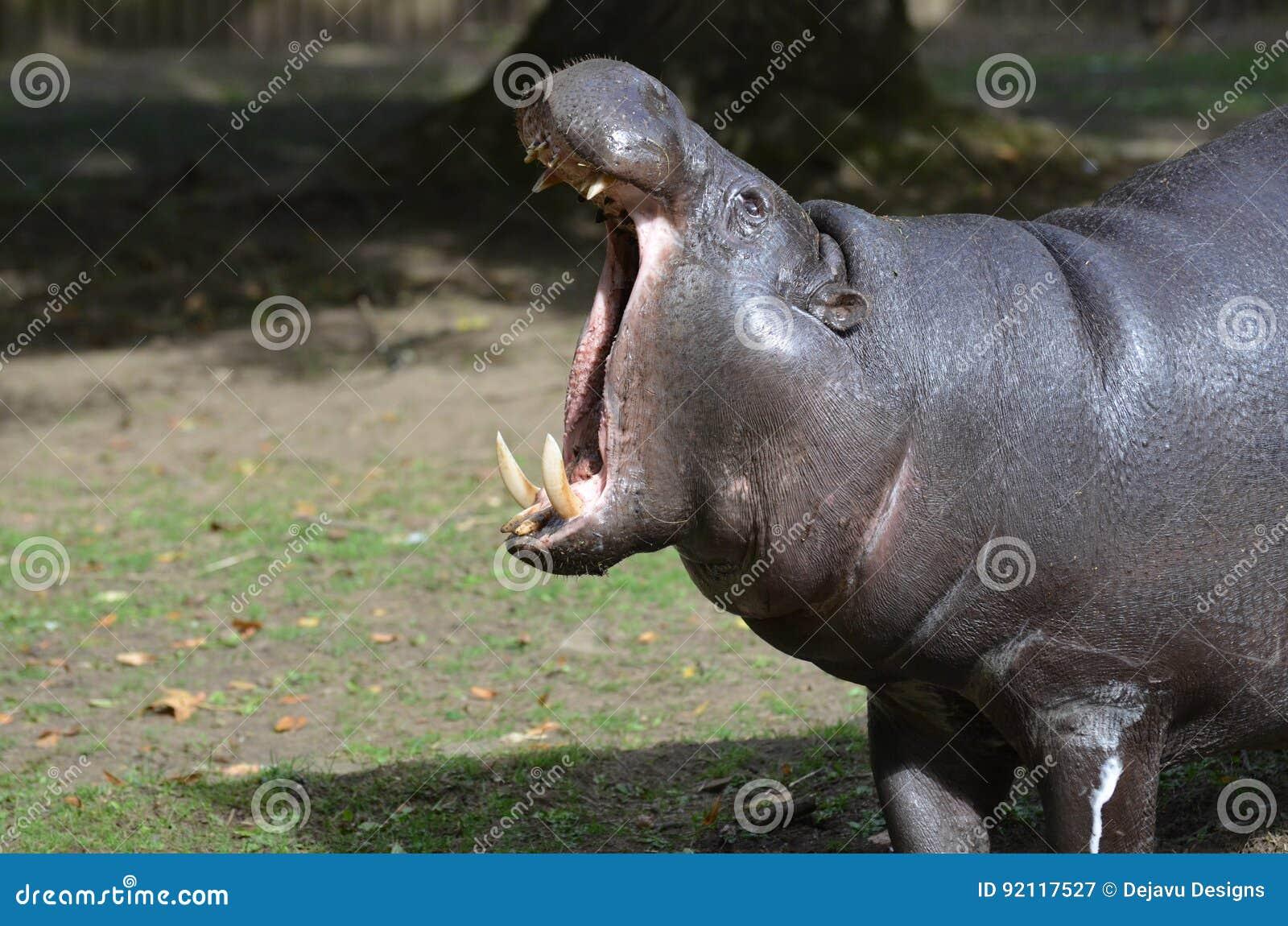 Pygmy Hippo met Zijn Hoofd omhoog en Zijn Open Mond