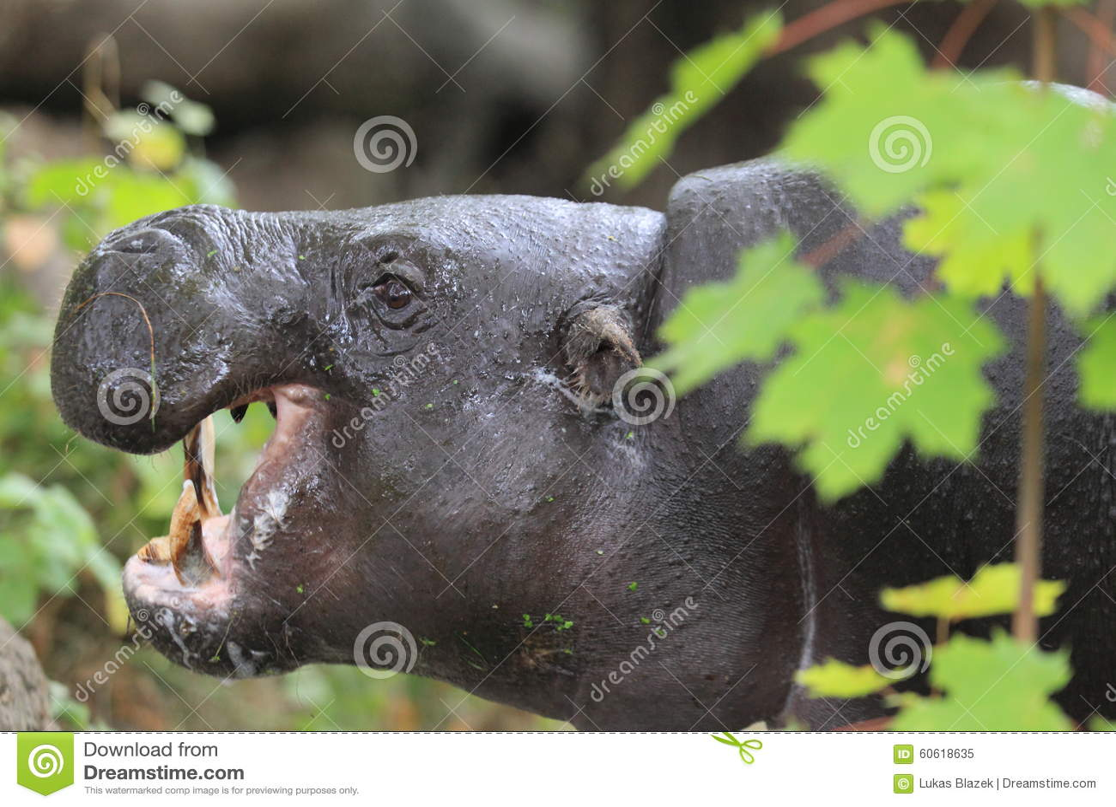 Pygmy nijlpaard