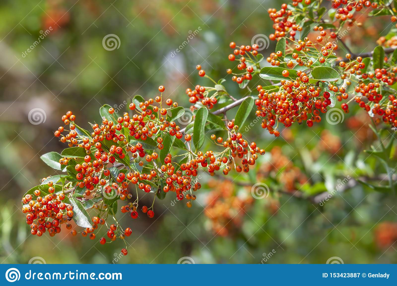 Pyracantha Bush With Green Foliage And Orange Berries In Fall