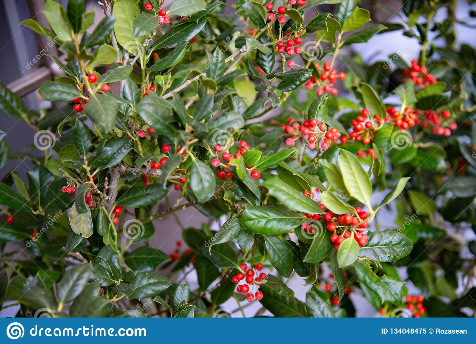 Pyracantha Is A Bushy Plant With Many Small Red Berries Stock