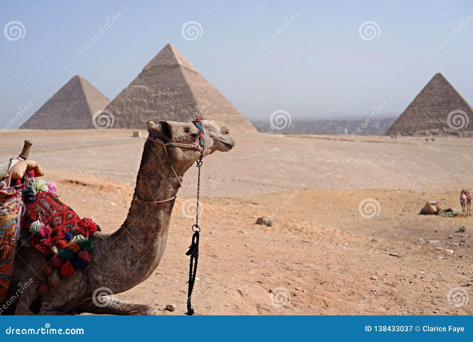 Pyramides égyptiennes avec un chameau sur le fond