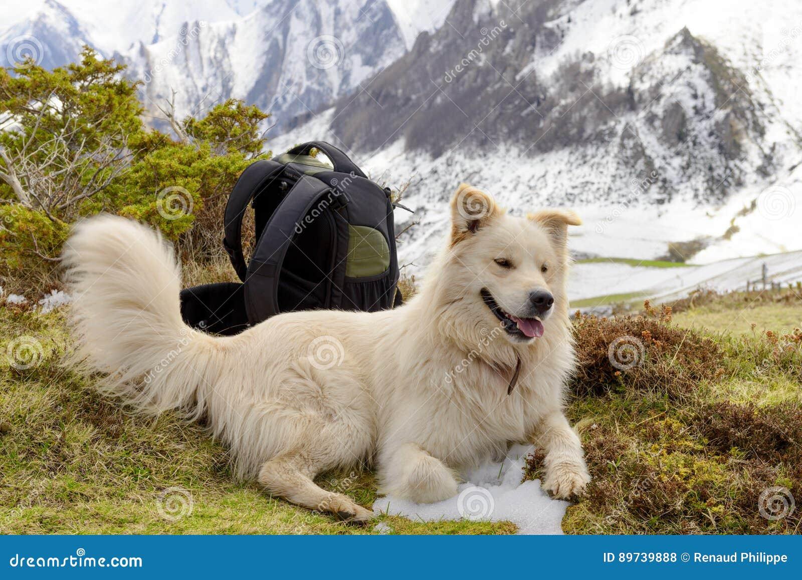 Pyrenean berghund, snöbakgrund