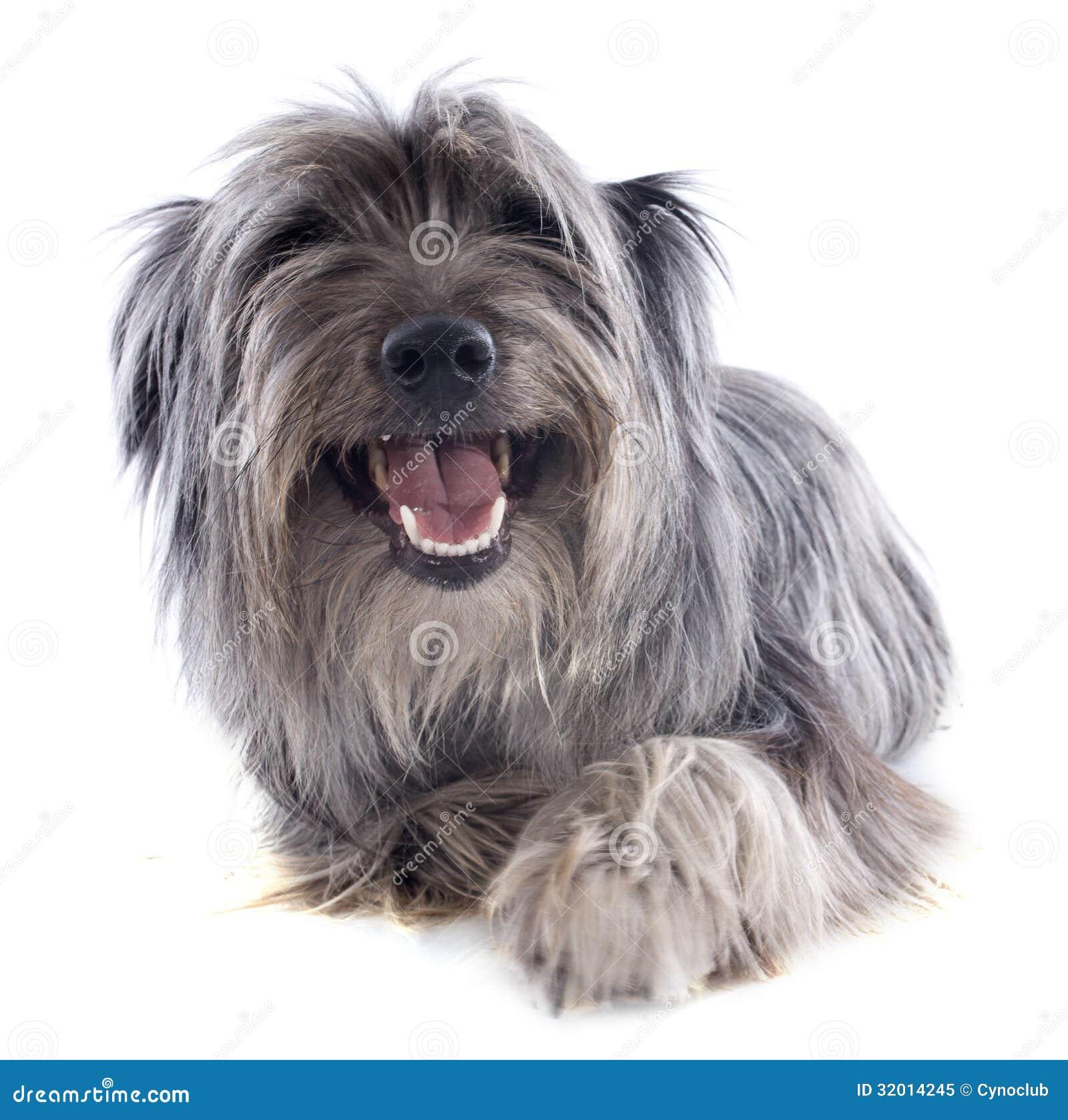 Pyrenean fårhund