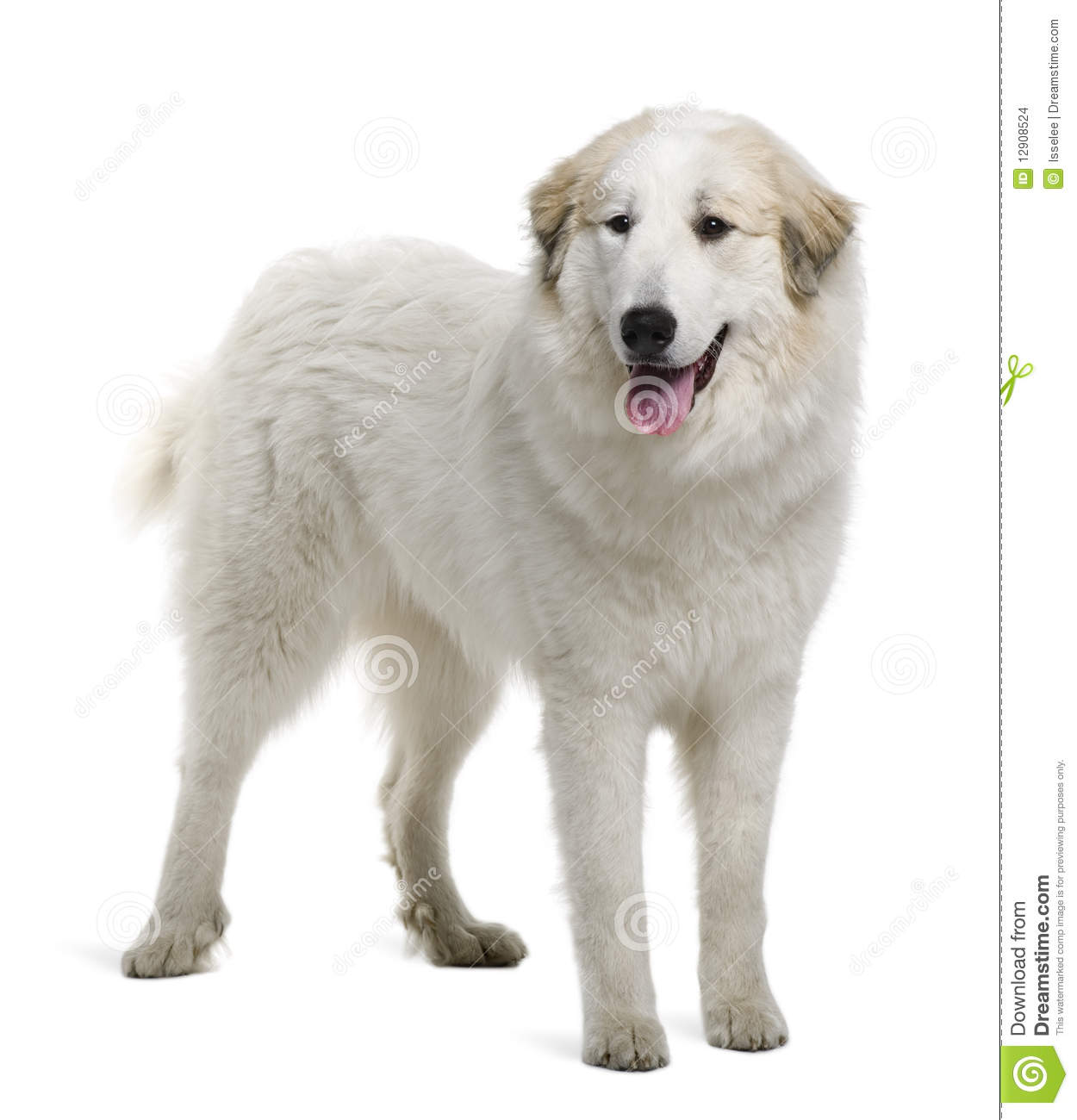 Pyrenean Mountain Dog Puppies Prices