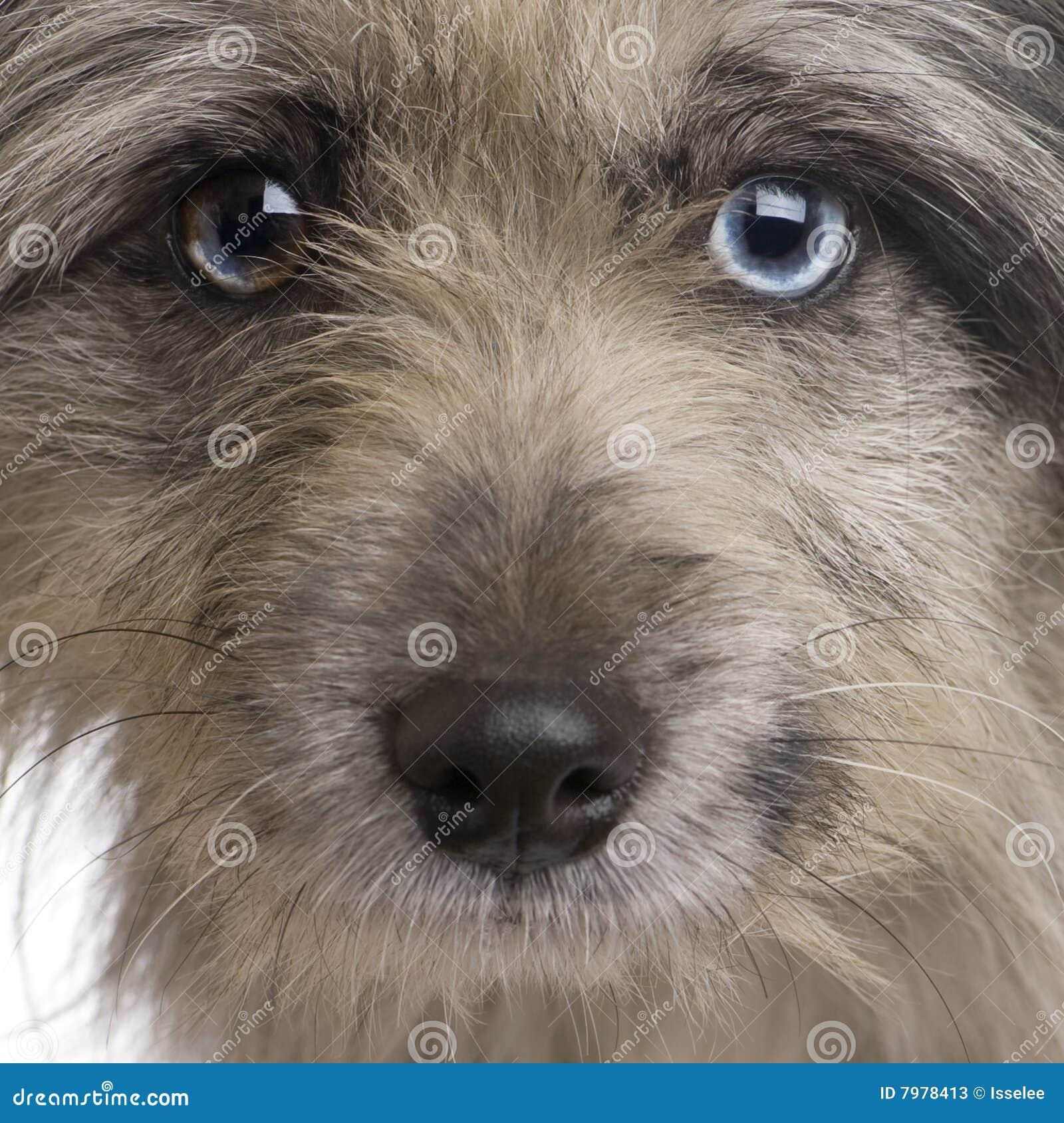 Pyrenean Schäferhund (1 Jahr)