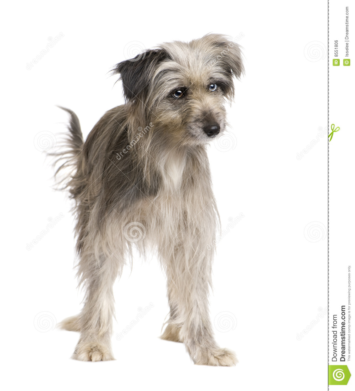 of pyrenean shepherd 1 year more similar stock images of pyrenean ...