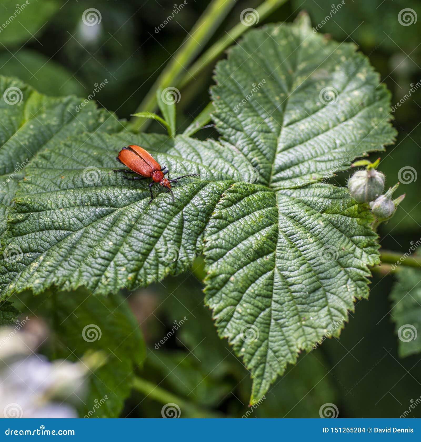 Pyrochroa serraticornis beetle